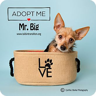 Yorkie, Yorkshire Terrier/Terrier (Unknown Type, Small) Mix Dog for adoption in Friendswood, Texas - Mr. Big