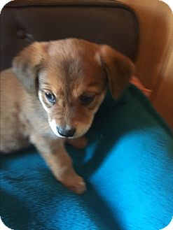 Labrador Retriever/German Shepherd Dog Mix Puppy for adoption in Greeneville, Tennessee - DAISY