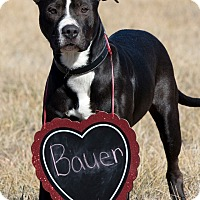 Adopt A Pet :: Bauer - Broken Arrow, OK