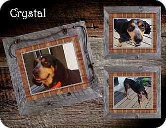 Bluetick Coonhound/Coonhound Mix Dog for adoption in Ontario, Ontario - Crystal -ADOPTED!