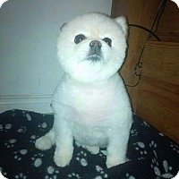 Adopt A Pet :: Little Bear - Treton, ON