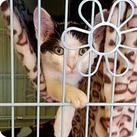 Adopt A Pet :: Nina - LaGrange Park, IL