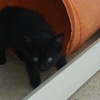 Domestic Shorthair Cat for adoption in Palm Beach, Florida - Grover