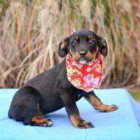 Adopt A Pet :: Tahoe - Madison, GA