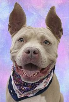 American Pit Bull Terrier Mix Dog for adoption in Cincinnati, Ohio - Piglet