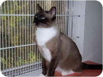 Siamese Cat for adoption in Tahlequah, Oklahoma - Koko
