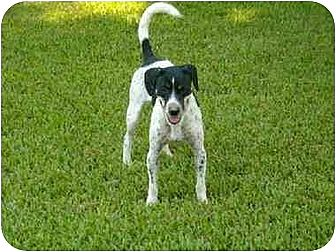 Australian Cattle Dog/Parson Russell Terrier Mix Dog for adoption in Rayville, Louisiana - Duran