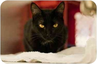 Domestic Shorthair Cat for adoption in Westbrook, Maine - Jetta