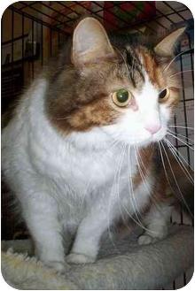 Domestic Longhair Cat for adoption in Honesdale, Pennsylvania - Princess