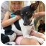 Photo 2 - Rat Terrier Dog for adoption in Osseo, Minnesota - Lola