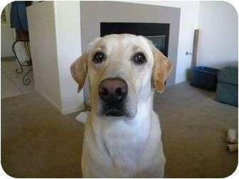 Labrador Retriever Dog for adoption in San Diego, California - SHILOH