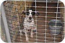 Whippet/Pointer Mix Dog for adoption in Traskwood, Arkansas - Lander