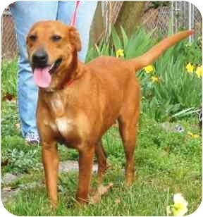 Labrador Retriever/Hound (Unknown Type) Mix Dog for adoption in Portsmouth, Rhode Island - Nutmeg