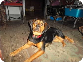 Rottweiler/Beagle Mix Dog for adoption in all of, Connecticut - Regal(Rottie/ Beagle)