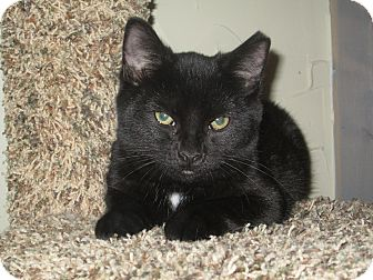 Domestic Shorthair Kitten for adoption in Richland, Michigan - Comet