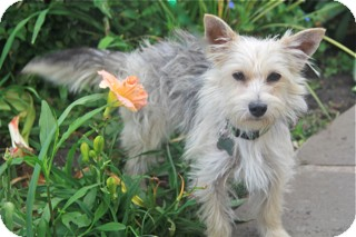 Terrier (Unknown Type, Small) Mix Dog for adoption in Norwalk, Connecticut - Jenny - adoption pending