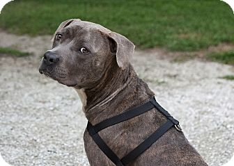 American Staffordshire Terrier/American Pit Bull Terrier Mix Dog for adoption in Holmes Beach, Florida - Andy