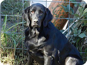 Labrador Retriever Dog for adoption in Lawrenceburg, Tennessee - Emma