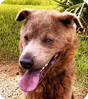 Chow Chow Mix Dog for adoption in Centerville, Tennessee - Ditch
