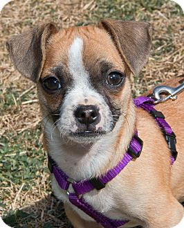 Chihuahua Puppy for adoption in Wimberley, Texas - Bandit