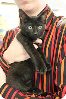 Domestic Shorthair Kitten for adoption in Nashville, Tennessee - Lady Sybil