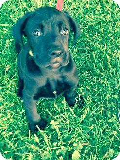 Boxer/Labrador Retriever Mix Puppy for adoption in New Oxford, Pennsylvania - Maxx