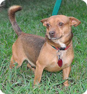 Chihuahua Dog for adoption in Newark, Delaware - Screech