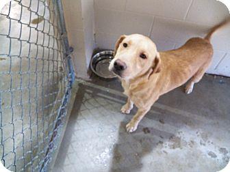 Labrador Retriever Mix Dog for adoption in Osceola, Arkansas - Chance