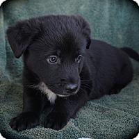 Adopt A Pet :: Yogi - La Habra Heights, CA
