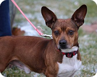 Beagle Mix Dog for adoption in Elyria, Ohio - Benny