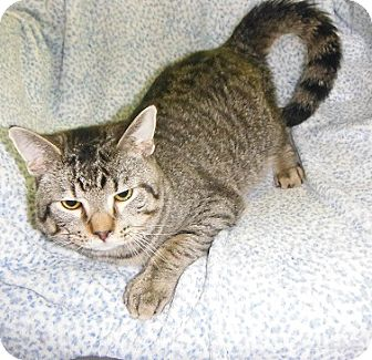 Domestic Shorthair Cat for adoption in Morristown, Tennessee - Rocky