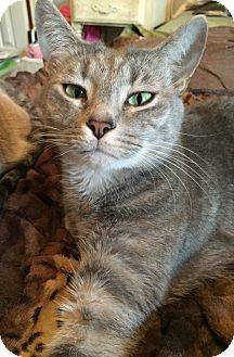 Domestic Shorthair Kitten for adoption in Monroe, North Carolina - Simon