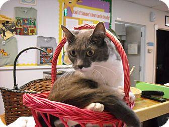 Domestic Shorthair Cat for adoption in Fort Walton Beach, Florida - Shadow