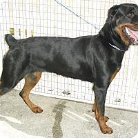 Adopt A Pet :: Zoria - Pembroke Pines, FL