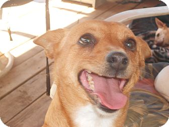 Chihuahua Dog for adoption in Seligman, Arizona - candy