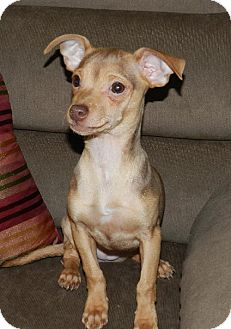 Chihuahua/Jack Russell Terrier Mix Puppy for adoption in Buffalo, New York - Izzy