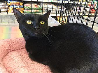 Domestic Shorthair Cat for adoption in Gilbert, Arizona - Charlotte
