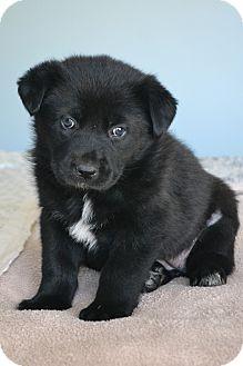 German Shepherd Dog/Labrador Retriever Mix Puppy for adoption in Southington, Connecticut - Cleo