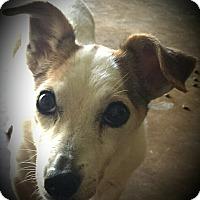 Adopt A Pet :: PHOEBE - Terra Ceia, FL