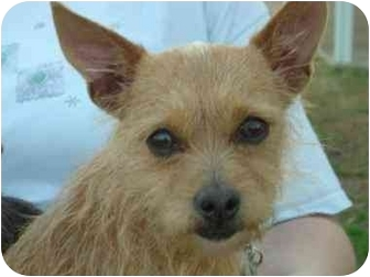 Terrier (Unknown Type, Small)/Chihuahua Mix Dog for adoption in Canton, Texas - Cici