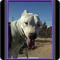 American Staffordshire Terrier Mix Dog for adoption in Encino, California - Simon