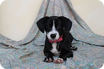 Beagle Mix Puppy for adoption in Los Angeles, California - Amy