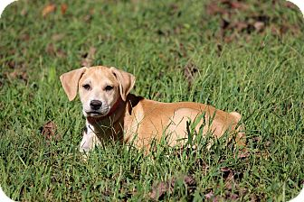 Labrador Retriever Mix Puppy for adoption in Waldorf, Maryland - Pootle