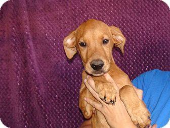 Labrador Retriever/Golden Retriever Mix Puppy for adoption in Oviedo, Florida - Viper
