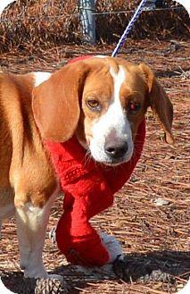 Beagle Mix Dog for adoption in Sturbridge, Massachusetts - Emmy Lou