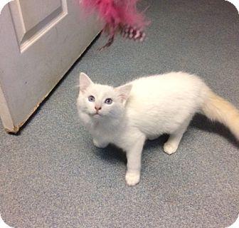 Domestic Longhair Kitten for adoption in West Warwick, Rhode Island - Tatum