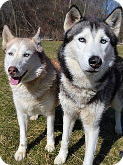 Siberian Husky Dog for adoption in Michigan City, Indiana - Mahogany and Aspen