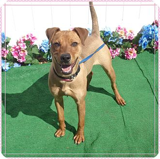 Labrador Retriever Mix Dog for adoption in Marietta, Georgia - BROWNIE