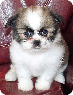 Shih Tzu Mix Puppy for adoption in Corona, California - FOXY