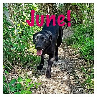 Labrador Retriever Mix Dog for adoption in Kingston, Tennessee - June